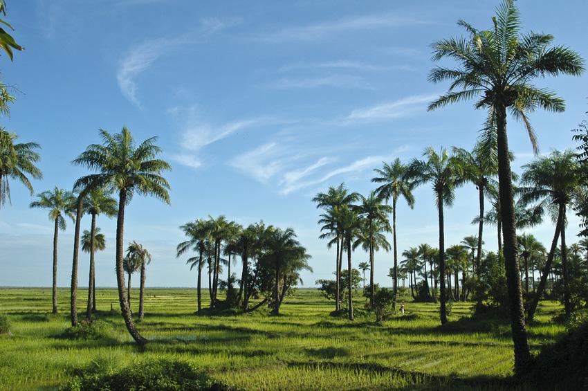 Culture du riz en Casamance